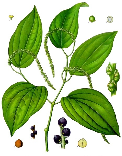 Botanical print of the black pepper plant